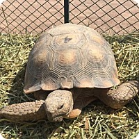 Tortoise for adoption in Las Vegas, Nevada - Patrick