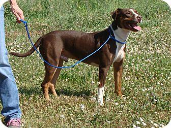 Boxer/Labrador Retriever Mix Dog for adoption in Cameron, Missouri - Sultan