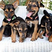 Adopt A Pet :: Laika - Hernando, MS