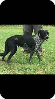 Blue Heeler/Labrador Retriever Mix Dog for adoption in Woodward, Oklahoma - Play