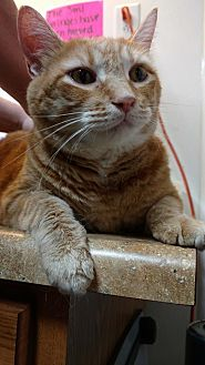 Domestic Shorthair Cat for adoption in Hanna City, Illinois - Lulu