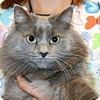 Domestic Longhair Cat for adoption in Wildomar, California - Ralph