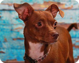 Chihuahua/Dachshund Mix Dog for adoption in Warner Robins, Georgia - Marco