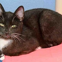 Domestic Mediumhair Cat for adoption in Canfield, Ohio - LESTAT