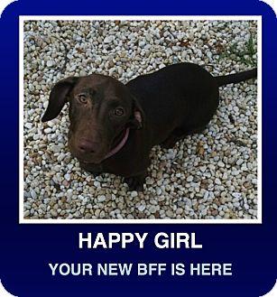 Dachshund/Labrador Retriever Mix Puppy for adoption in Morrisville, Pennsylvania - Coco