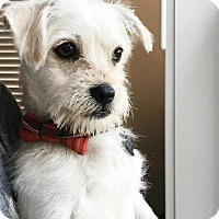 Maltese/Poodle (Miniature) Mix Puppy for adoption in Redondo Beach, California - Venice is just a puppy!