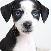 Adopt A Pet :: Butternut D161868: PENDING ADOPTION - Edina, MN