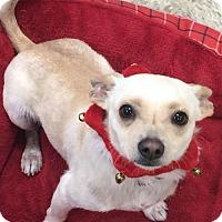 Adopt A Pet :: Ceasar - tampa, FL
