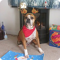 Boxer Dog for adoption in Corona, California - MAYA