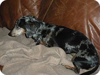 Dachshund Mix Dog for adoption in Lincoln, Nebraska - Rex