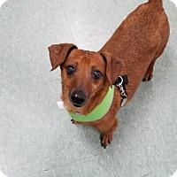 Adopt A Pet :: Scotch - Woonsocket, RI