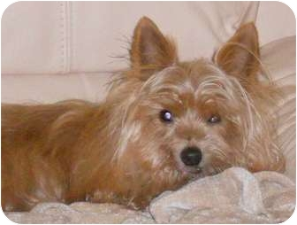 Yorkie, Yorkshire Terrier/Maltese Mix Dog for adoption in The Villages, Florida - Dan-O