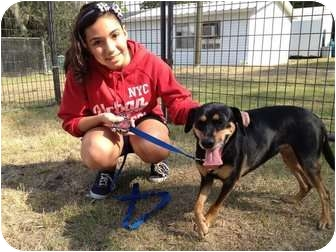 Manchester Terrier Mix Dog for adoption in Winter Haven, Florida - Bambi