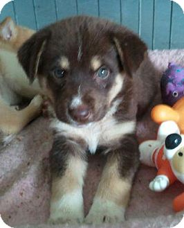Collie/Husky Mix Puppy for adoption in Windham, New Hampshire - Sydney