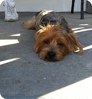 Yorkie, Yorkshire Terrier Mix Dog for adoption in Santa Monica, California - Felix