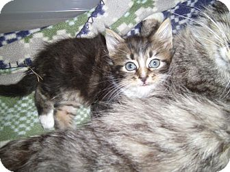 Domestic Mediumhair Kitten for adoption in Reston, Virginia - Brady