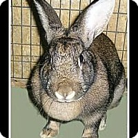 Adopt A Pet :: Honey Bunny - Williston, FL