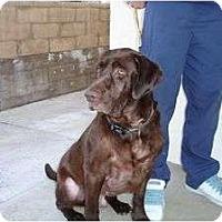 Adopt A Pet :: BALOO BEAR - La Mesa, CA