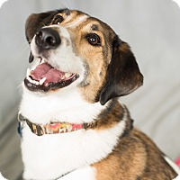 Adopt A Pet :: Allie - Minneapolis, MN