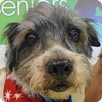 Adopt A Pet :: Benji - Chesterfield, MO