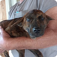 Adopt A Pet :: Katie - Warrenton, NC