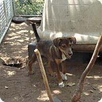 Adopt A Pet :: Ollie - Blanchard, OK