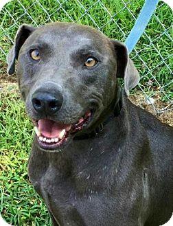 Weimaraner Mix Dog for adoption in Harrisonburg, Virginia - Logger