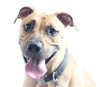 Rhodesian Ridgeback/Hound (Unknown Type) Mix Dog for adoption in Bradenton, Florida - Griswald