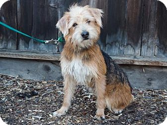 Yorkie, Yorkshire Terrier Mix Dog for adoption in Palo Alto, California - Danny