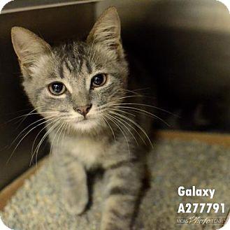 Domestic Mediumhair Cat for adoption in Conroe, Texas - GALAXY