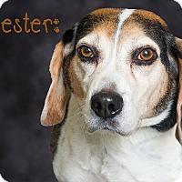 Adopt A Pet :: Jester - Somerset, PA