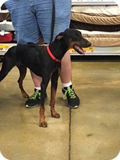 Doberman Pinscher Dog for adoption in Omaha, Nebraska - Brennan