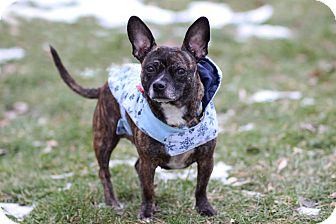 Chihuahua/French Bulldog Mix Dog for adoption in Midland, Michigan - Lil' Peach - $75!