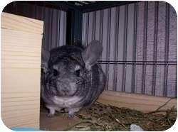 Chinchilla for adoption in Avondale, Louisiana - Rica