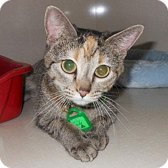 Domestic Shorthair Cat for adoption in Waterloo, Iowa - Lucky Lucy