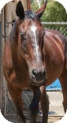 Thoroughbred Mix for adoption in El Dorado Hills, California - Tank