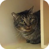 Domestic Shorthair Cat for adoption in Modesto, California - George
