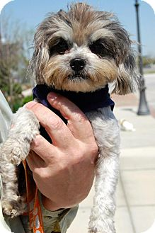 Shih Tzu/Poodle (Miniature) Mix Dog for adoption in Baton Rouge, Louisiana - Bette Davis