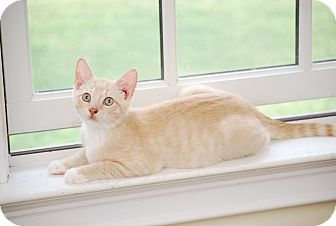 Domestic Shorthair Kitten for adoption in Bensalem, Pennsylvania - Buff