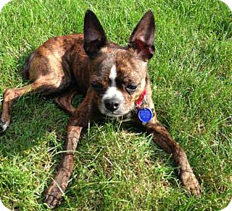 Boston Terrier/Chihuahua Mix Dog for adoption in Salem, New Hampshire ...