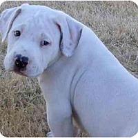 Adopt A Pet :: Broseph - Gilbert, AZ
