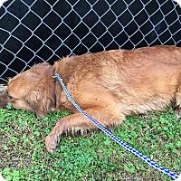 Adopt A Pet :: Dorothy - Billerica, MA