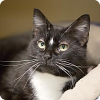Adopt A Pet :: Oreo Double Stuff - Kettering, OH