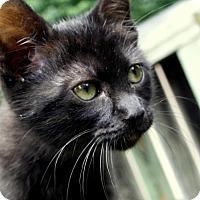 Adopt A Pet :: Athena - Little Rock, AR