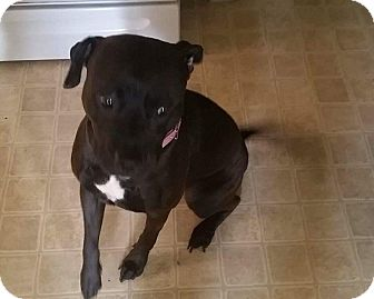American Staffordshire Terrier/American Pit Bull Terrier Mix Dog for adoption in North Olmsted, Ohio - Autumn-Courtesy Post