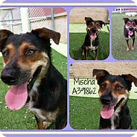 Adopt A Pet :: Mischa - San Antonio, TX