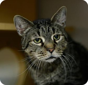 Domestic Shorthair Cat for adoption in Kettering, Ohio - Gramps