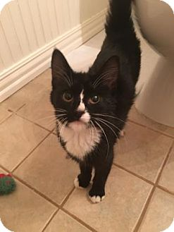 Domestic Mediumhair Kitten for adoption in Bulverde, Texas - Figaro