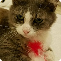 Domestic Mediumhair Cat for adoption in Cincinnati, Ohio - Coco