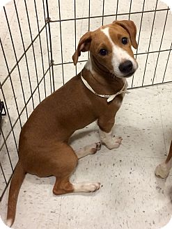 Boxer Mix Puppy for adoption in Manchester, Connecticut - BLondie 1 in CT